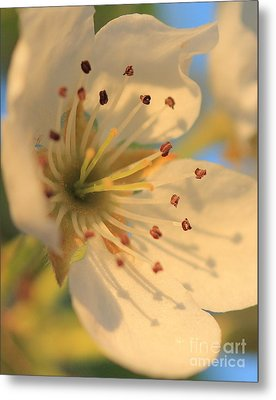 Metal Print featuring the photograph Pear Blossom by Rebeka Dove