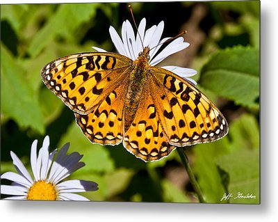 Metal Print featuring the photograph Pearl Border Fritillary Butterfly On An Aster Bloom by Jeff Goulden