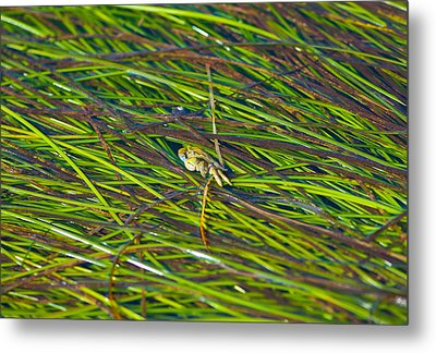 Peeking Crab Metal Print by Sarah Crites