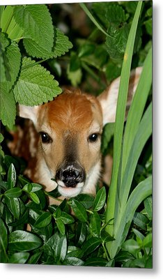 Peeking Metal Print by Diane Merkle