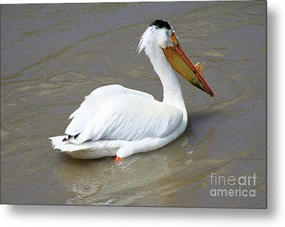 Metal Print featuring the photograph Pelecanus Eerythrorhynchos by Alyce Taylor