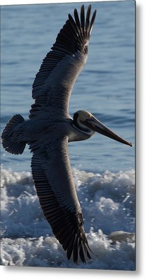 Pelican Flight Metal Print by John Daly