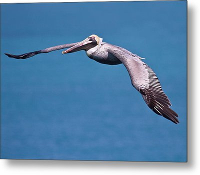 Pelican In Flight Florida Metal Print by Mr Bennett Kent