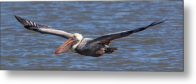 Metal Print featuring the photograph Pelican In Flight by Patricia Schaefer