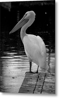 Pelican In The Dark Metal Print