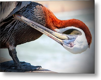 Pelican Itch Metal Print