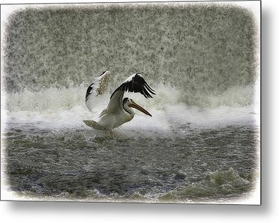 Pelican Landing In Color Metal Print by Thomas Young