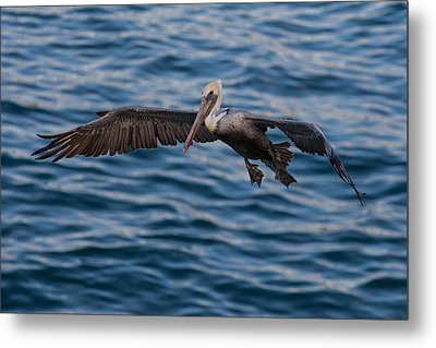 Metal Print featuring the photograph Pelican Landing by Sonny Marcyan