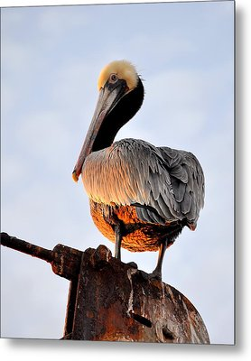 Pelican Looking Back Metal Print by AJ  Schibig