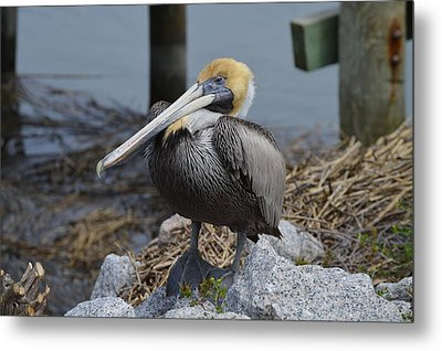 Pelican On Rocks Metal Print