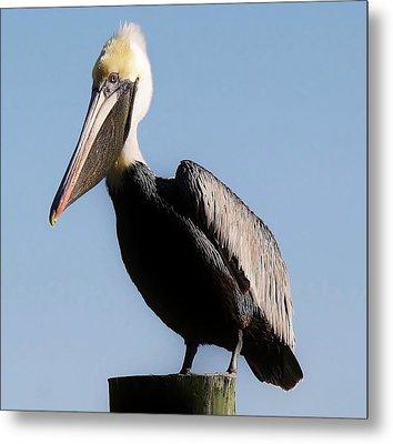Pelican  Metal Print by Paulette Thomas