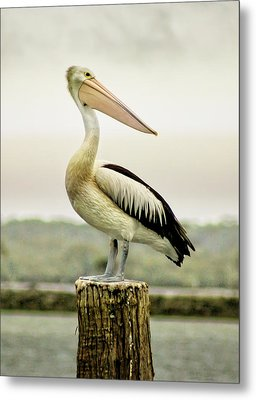 Pelican Poise Metal Print by Holly Kempe