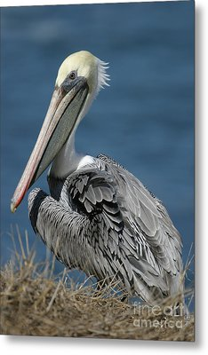 Pelican Metal Print by Russell Christie