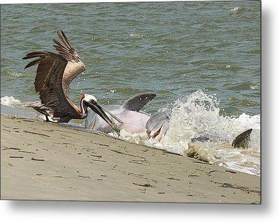 Pelican Steals The Fish Metal Print