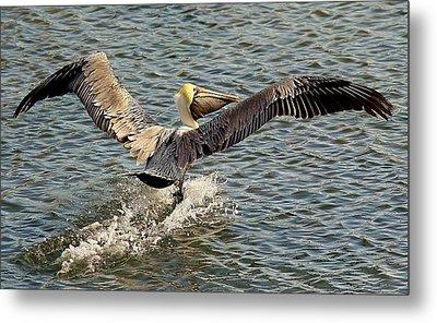 Pelican Take Off Metal Print by Paulette Thomas