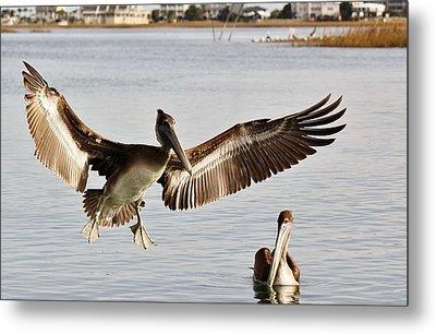 Pelican Wings Span Metal Print by Paulette Thomas