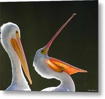 Metal Print featuring the photograph Pelican Yawn by Avian Resources