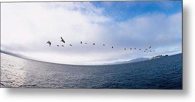 Pelicans Flying Over The Sea, Alcatraz Metal Print