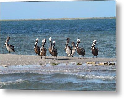 Pelicans Of Bird Island 7 Metal Print by Cathy Lindsey
