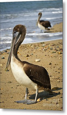Pelicans On Beach In Mexico Metal Print by Elena Elisseeva