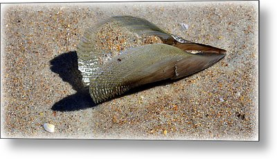 Pen Shell 1 Metal Print by Sheri McLeroy