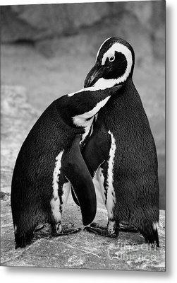 Penguin's Preening Black And White Metal Print