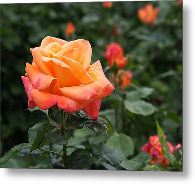 Pensioners Voice Roses Metal Print by Rona Black