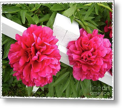 Metal Print featuring the photograph Peonies Resting On White Fence by Barbara Griffin