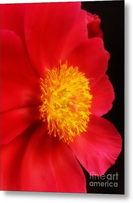 Peony 2 Metal Print by Heather L Wright