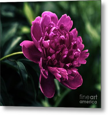 Metal Print featuring the photograph Peony 2014 by Marjorie Imbeau