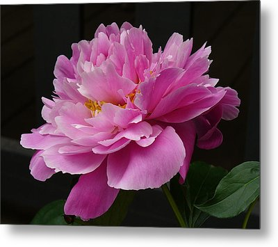 Metal Print featuring the photograph Peony Blossoms by Lingfai Leung