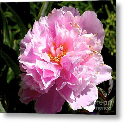Peony Metal Print by Sher Nasser