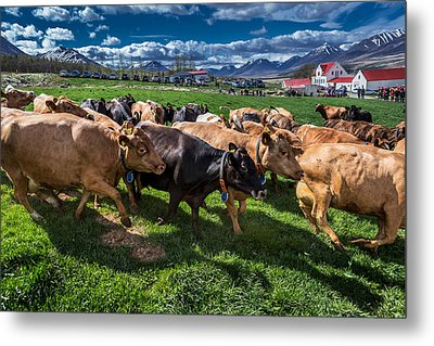 People Watch As A Dairy Cows Are Set Metal Print by Panoramic Images