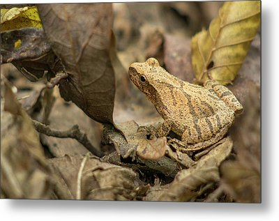 Pepper Treefrog, St Metal Print