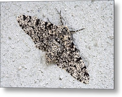 Peppered Moth Metal Print by Power And Syred