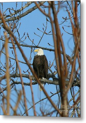 Perched American Bald Eagle  Metal Print by Neal Eslinger