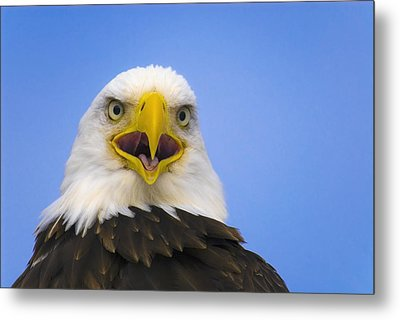 Perched Eagle Opens Beak To Call Metal Print by Daryl Pederson