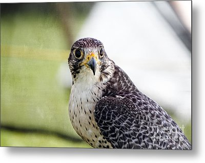 Metal Print featuring the photograph Peregrine Falcon Bird Of Prey by Eleanor Abramson