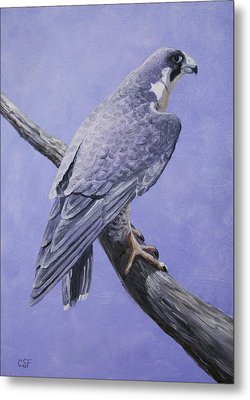 Peregrine Falcon Metal Print by Crista Forest