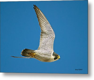 Peregrine Falcon Fly-by Metal Print by Stephen  Johnson