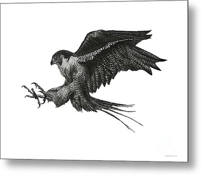 Peregrine Hawk Or Falcon Black And White With Pen And Ink Drawing Metal Print by Mario Perez