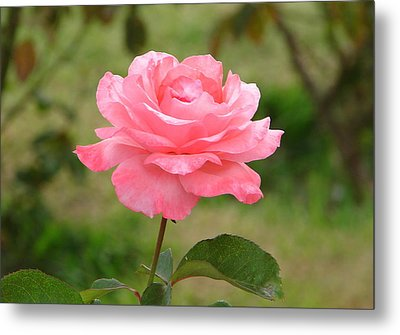Metal Print featuring the photograph Perfect In Pink by Lew Davis