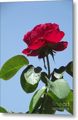 Perfect Red Rose Metal Print by Cheryl Hardt Art