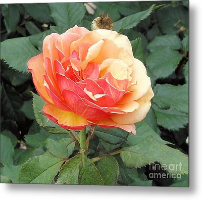Metal Print featuring the photograph Perfect Rose by Janette Boyd