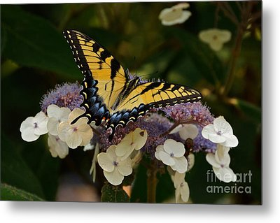 Perfect Tiger Swallowtail Butterfly Metal Print by Byron Varvarigos