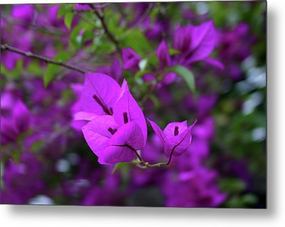 Perple Leafs Metal Print by Frederico Borges
