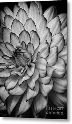 Petals Metal Print by Carrie Cranwill
