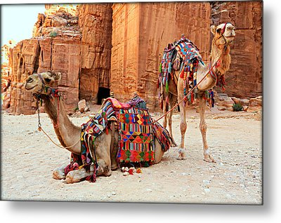 Petra Camels Metal Print by Stephen Stookey