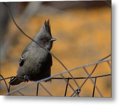 Phainopepla Metal Print by Feva  Fotos