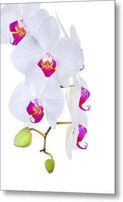 Phalaenopsis Orchids Against White Background Metal Print by Robert Jensen